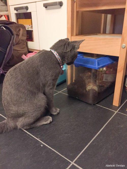 カブトムシを観察する猫