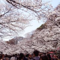 上野の花見
